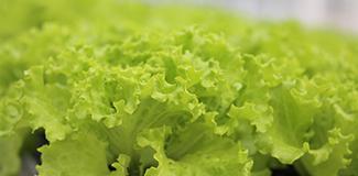 吃生菜有什么好处,营养价值作用功效