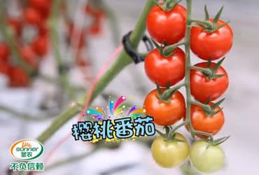 丰圣樱桃番茄